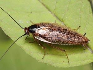 выведение тараканов