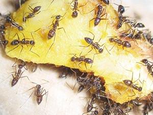 Уничтожение муравьёв в доме