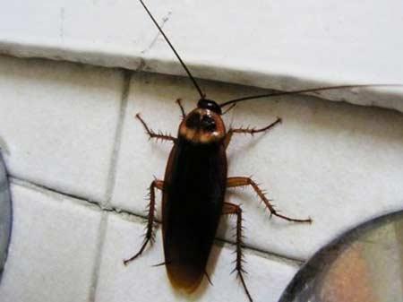огромный таракан